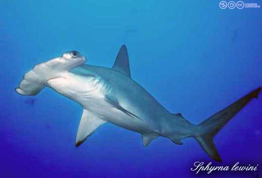 Pesce Martello Smerlato