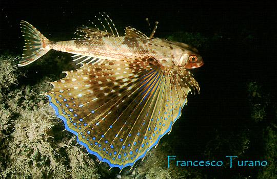 Pesci con le ali for Pesci acqua fredda piccoli